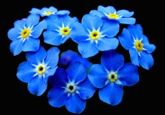 ForgetMeNots.94142318_std